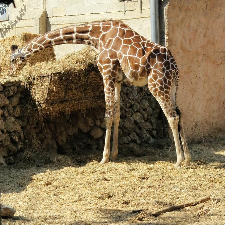 giraffe, animal, zoo, zoo animals, safari