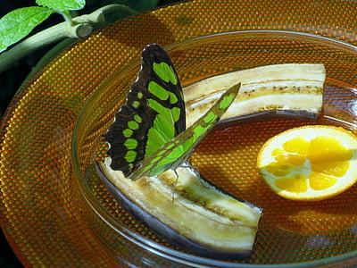 perhonen, hyönteinen, Butterfly house, Mainaun