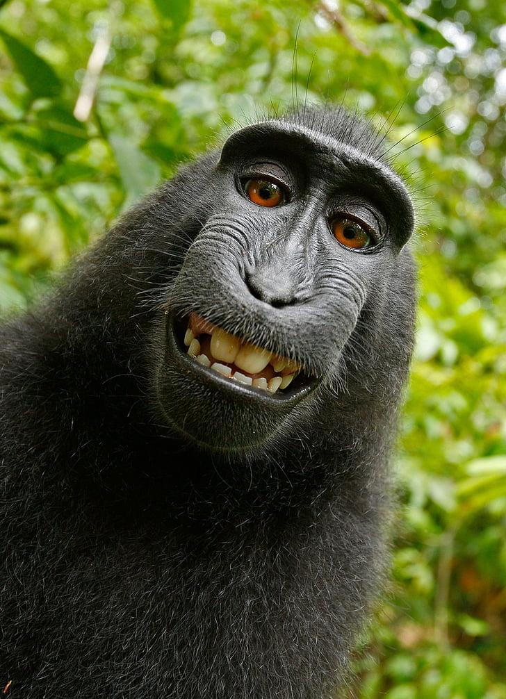 selfie, monkey, self portrait, macaca nigra, crested monkey, crested macaque, äffchen