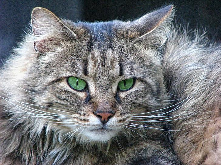 mačka, Mačací pohľad, mačacie oči, Lesná mačka, zelené oči