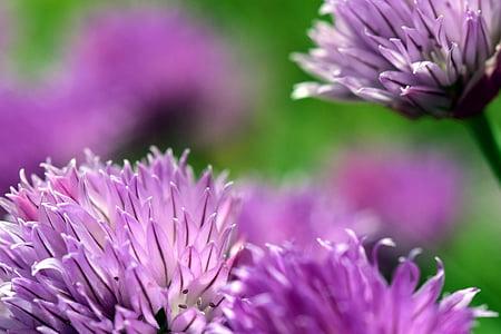 cebollino, flor, floración, naturaleza, planta, púrpura, especia de la cocina