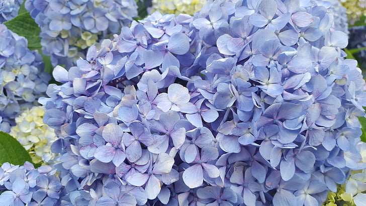 hydrangea, flowers, nature, petal, blossom, plants, summer flowers