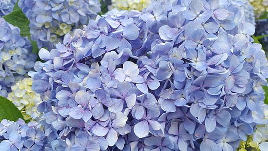 Hortensia, lilled, loodus, kroonleht, õis, taimed, suve lilled