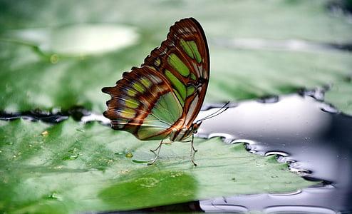 malakiitti, spirotea muistokiveä, perhonen siivet, Sulje, väri, Filigree, lentää