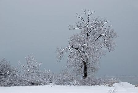 ต้นไม้, หิมะ, เย็น, หมอก, ฤดูกาล, สีขาว, ธรรมชาติ