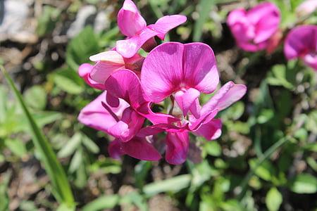 lill, Orchid, lilla lill, loodus, taim, Aed, lilled