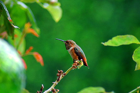 nature, humming bird, bird, hummingbird, colorful
