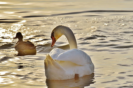 лебед, патица, вода, Боденското езеро, животински свят, езеро, птица