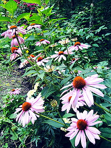 Coneflower, bunga, Echinacea, perbatasan, ungu, tinggi, tanaman