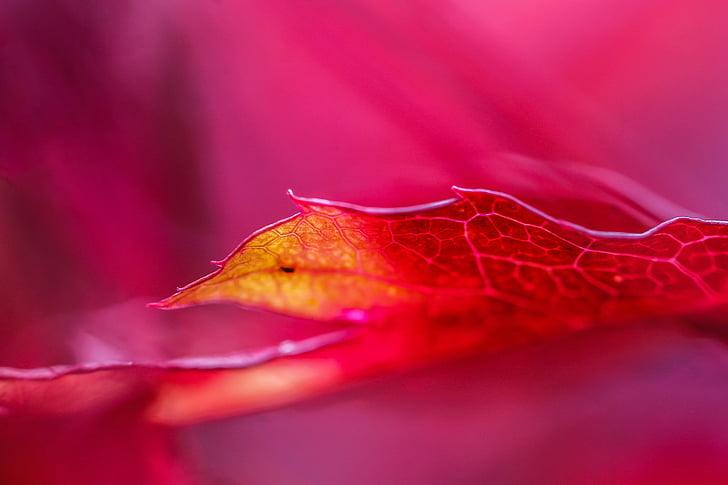 maple leaf, autumn colouring, autumn mood, colors, autumn leaf, nature, maple
