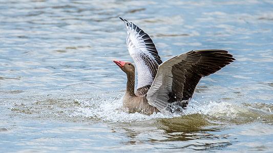 gås stor, fågel, vingar, vatten fågel, naturen, fjäder, näbb