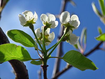 flor, flors blanques, blanc, primavera, flor, flor blanca, branques