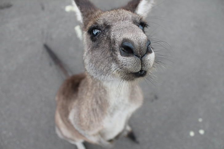closeup, photo, brown, kangaroo, animal, animals, animated