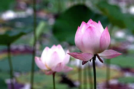 Lotus, Rosa, fresc, distància, Estany, doble, budisme