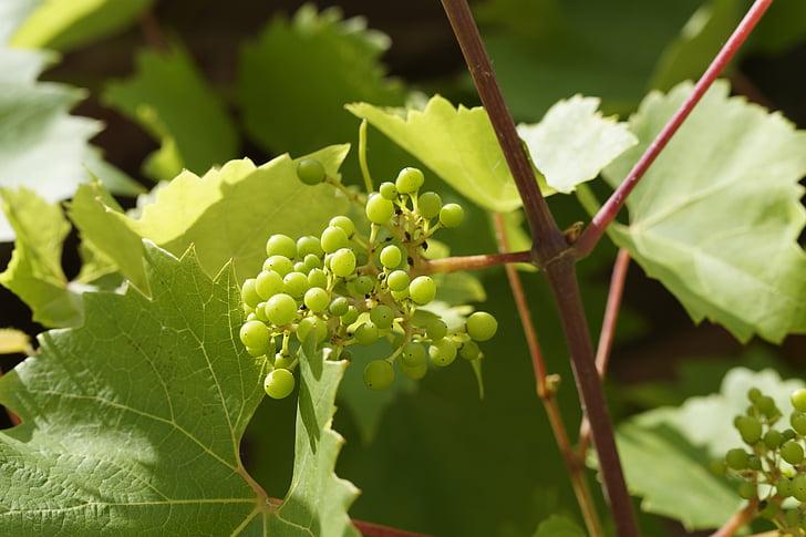 ücretsiz Fotoğraf şarap üzüm Yaprağı Yaprak üzüm Beyaz üzüm