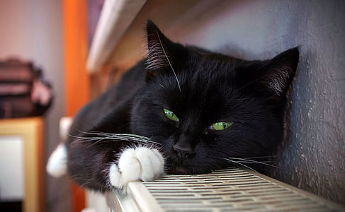 cat, animal, pet, cat's eyes, black cat, young cat, domestic Cat