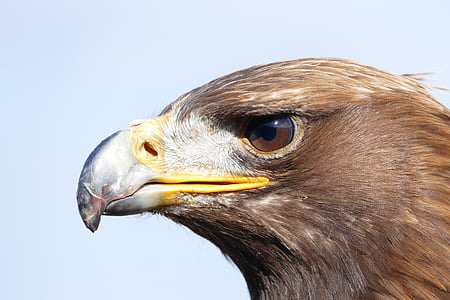 animal, bird, bird of prey, eagle, raptorial bird, wild animal
