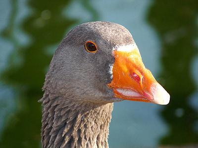 гъска, птица, животните, природата, Открит, птици, сив