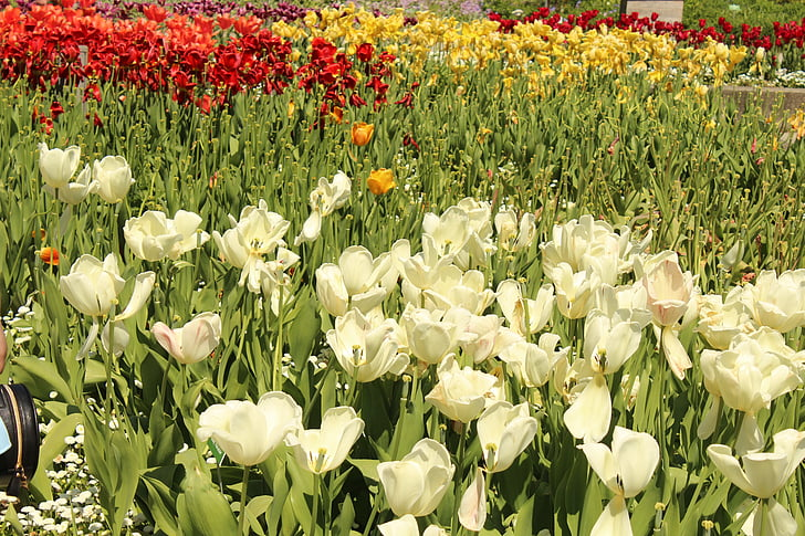 wit, rood, geld, groen, Blossom, Bloom, bloem