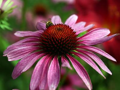 Echinacea, topi matahari, Blossom, mekar, bunga, Flora, Echinacea purpurea
