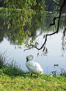 swan, pond, branches, nature