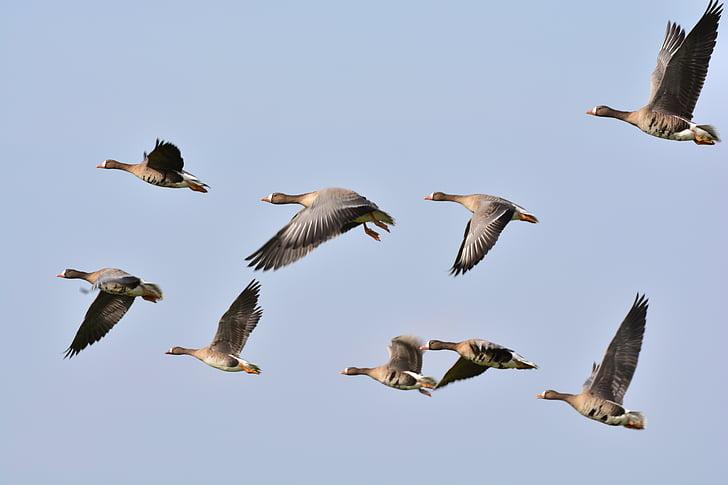 Дикі Гуси, Гуси, гуска, диких гусей, летять, Природа, тварини