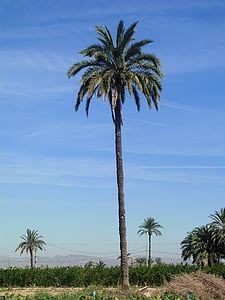 palm tree, field, elche
