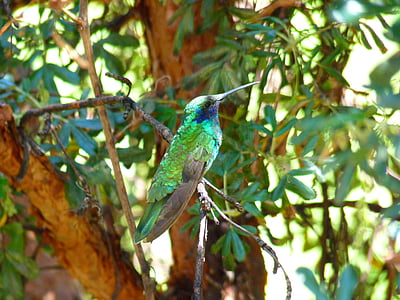 hummingbird, trochilidae, bird, shimmer, green, small, nectar