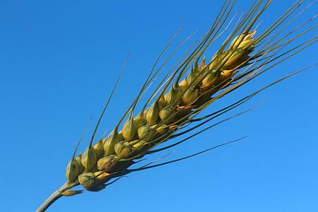 Salman, nisu, jahu, Mill, taevas, sinine, seemned