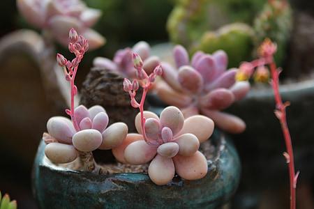 una pianta carnosa, carnose in questo, Cactus, giardino, fiori, piante, un giardino di fiore