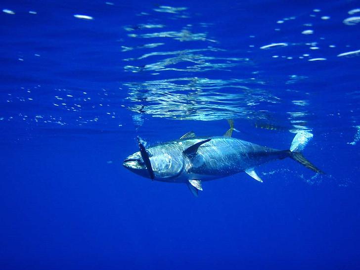 tonhal, hal, halászati, tenger gyümölcsei, friss, víz, víz alatti