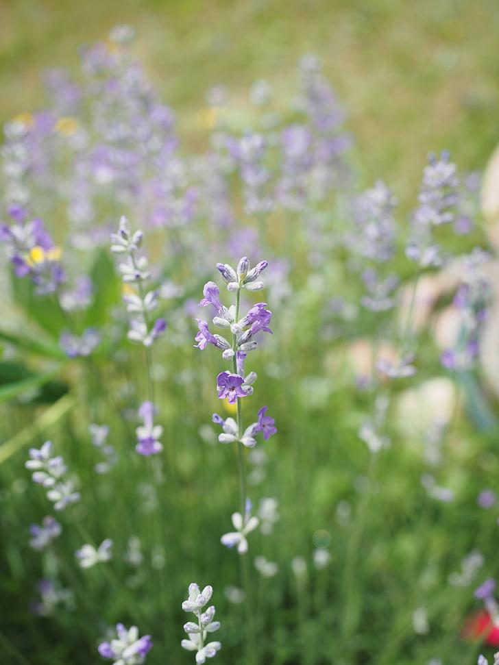 Levanda, levandų gėlės, šviesiai violetinė, gėlės, vasaros, dekoratyvinių augalų, kvepiančių augalų