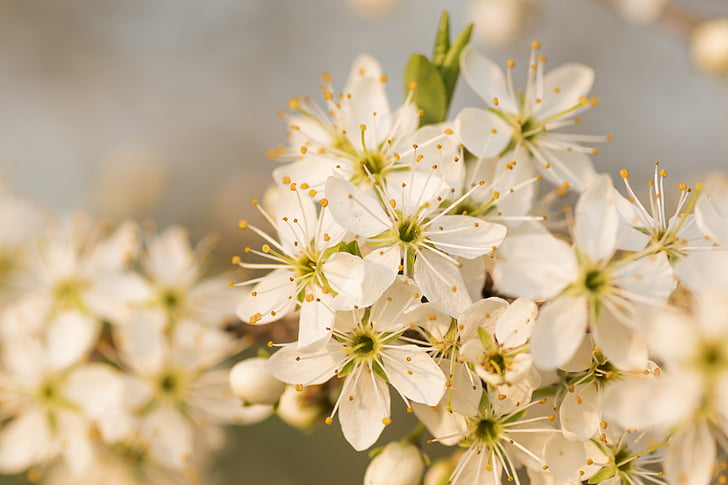 flower, flowers, plum, nature, spring, slovakia, in bloom flowers