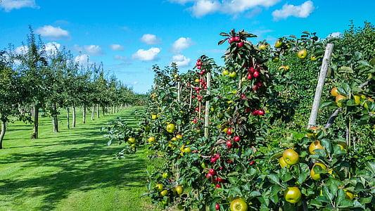 Apple, cây, Sân vườn, màu xanh lá cây, trái cây, mùa giải, mùa hè