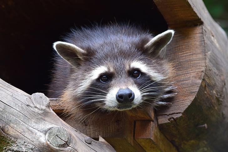 raccoon, zoo, wildlife park, cheeky, cute, wildlife photography, head