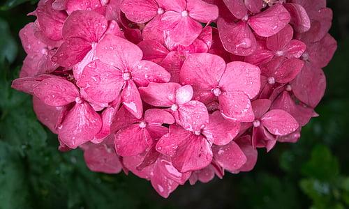 virágok, természet, lila, rózsaszín, absztrakt, növények, csepegtető