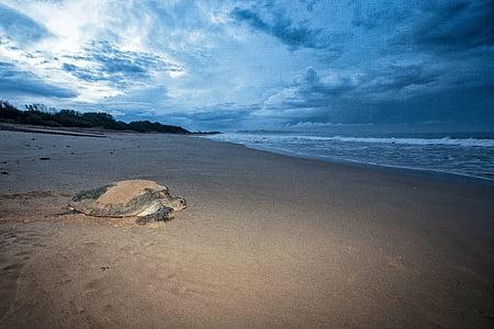 Tortuga, femelles mydas, el mar d'anar, abans d'Alba, Costa d'origen Ujung, l'oceà Índic, l'illa de Java