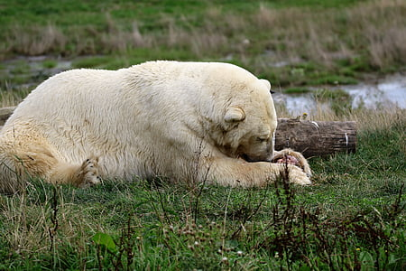 polar bear, white, bear, polar, mammal, animal, wildlife