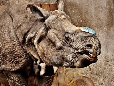 rhino, animal, animal world, pachyderm, rhinoceros, zoo, skin