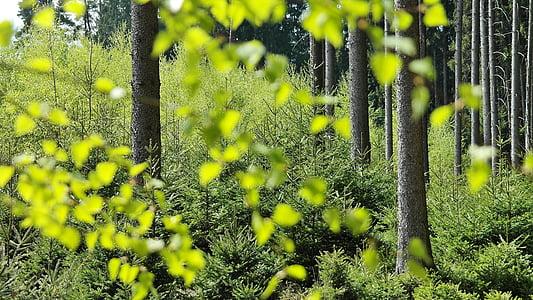 bosc, arbres, natura, primavera, llum, ombra, verd