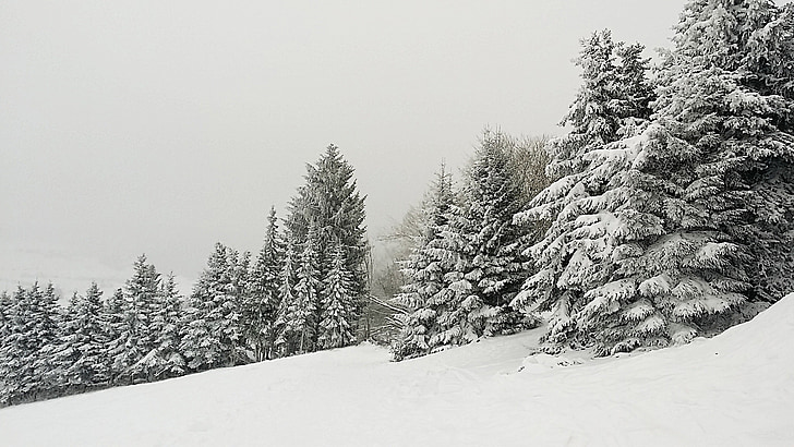 winter, firs, snow, cold, forest, coniferous forest, december