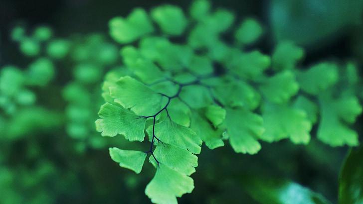 listov, zelena listna, listi