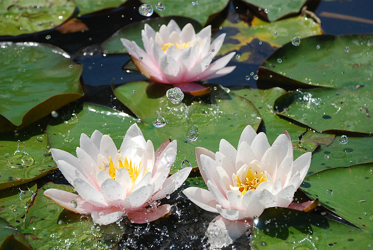 water, water lily, aquatic plant, pond, flower, nuphar, blossom