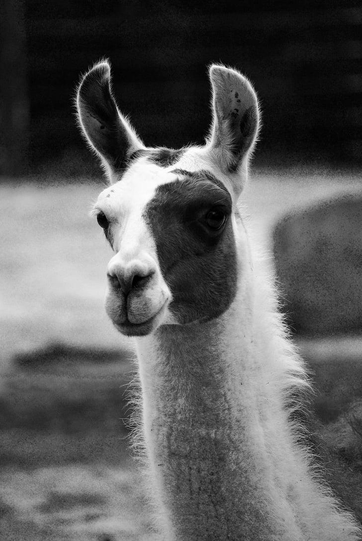 lama, nature, animal, wildlife photography, animal portrait