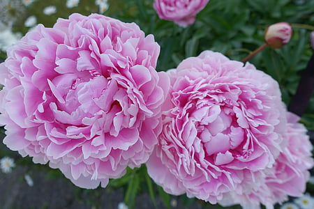 l'estiu, suficients, Peònia, floral, Rosa, sensació de flor d'estiu