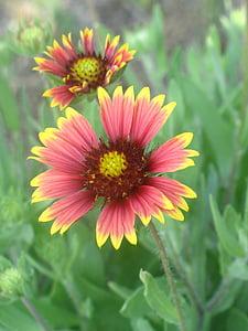 花, 赤, イエロー, 浜の花, 自然, 黄色の花, 野生の花