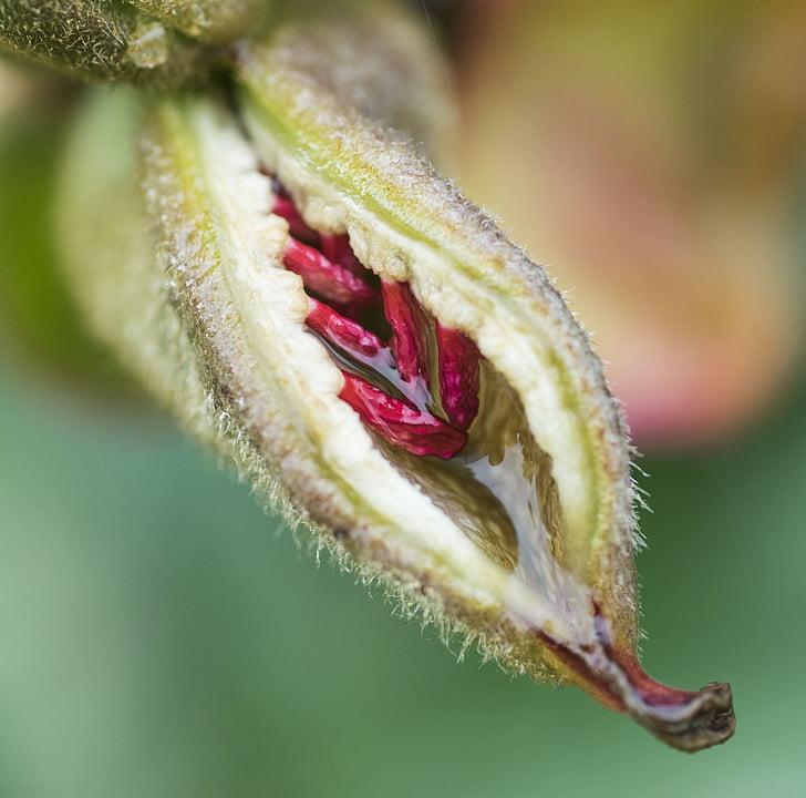 seemne, lill, seedpod, roheline, Aed, taim, loodus