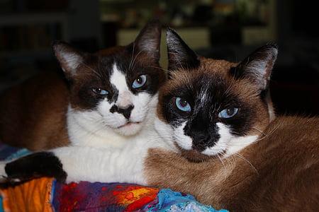 kočky, sealpoint, Fajn, domácí, zvíře, oči, kočkovitá šelma
