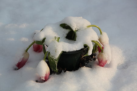winter, cemetery, snow, nature, covered, tulips, cold - Temperature