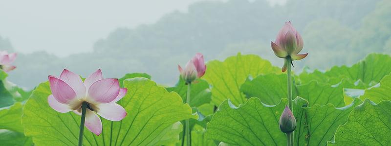 Lotus, Chang-čou, Západní jezero, rybník, vodní rostlina